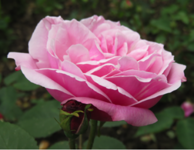 Rosier Old blush
