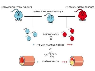 Les femelles souris descendantes de mères hypercholestérolémiques ont des niveaux de triméthylamine-N-oxide plus élevés et présentent un risque plus élevé de développement de l'athérosclérose.