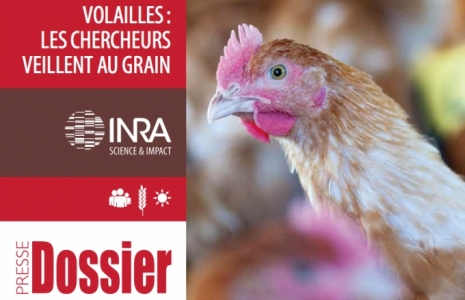 dossier volaille